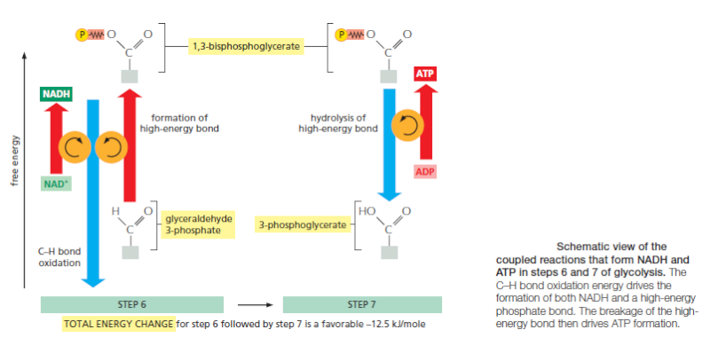 HOW CELLS OBTAIN ENERGY FROM FOOD Ry45610