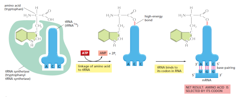 Origin of translation of the 4 nucleic acid bases and the 20 amino acids, and the universal assignment of codons to amino acids Sdfs10