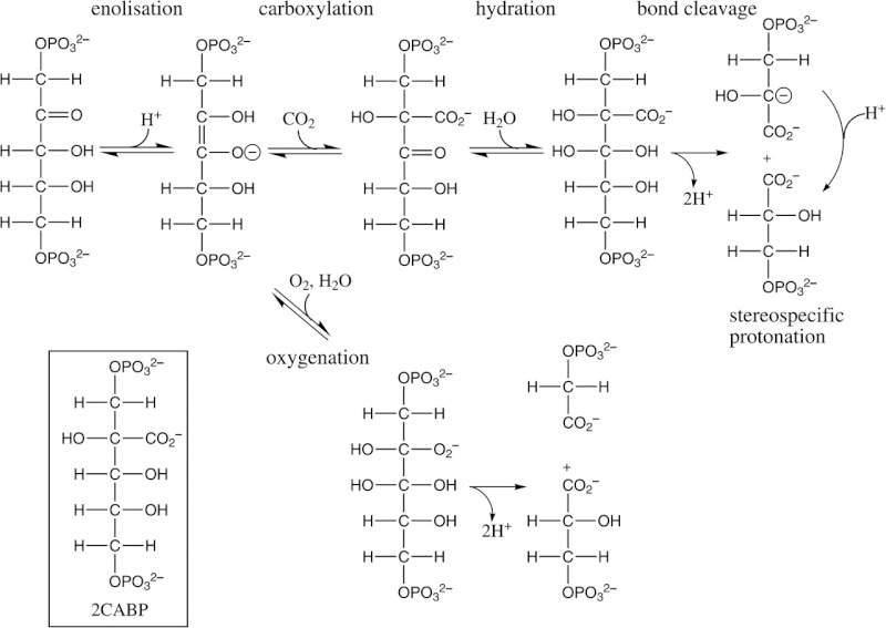 The Rubisco enzymes amazing evidence of design Sdfsds11