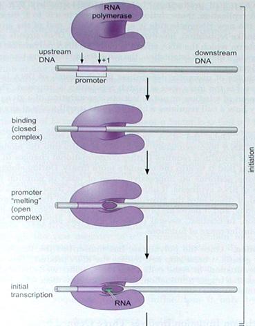 Initiation, Elongation and termination  by RNA polymerase II Sem_ty10