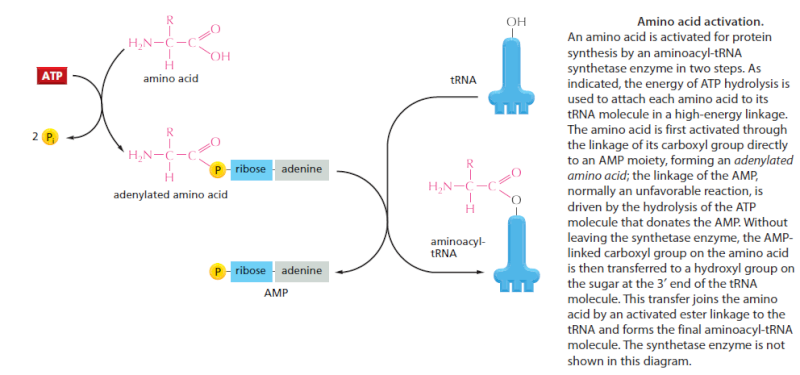 Origin of translation of the 4 nucleic acid bases and the 20 amino acids, and the universal assignment of codons to amino acids Sem_ty13