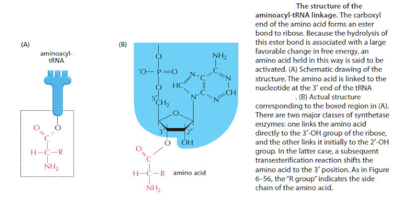 Origin of translation of the 4 nucleic acid bases and the 20 amino acids, and the universal assignment of codons to amino acids Sem_ty14