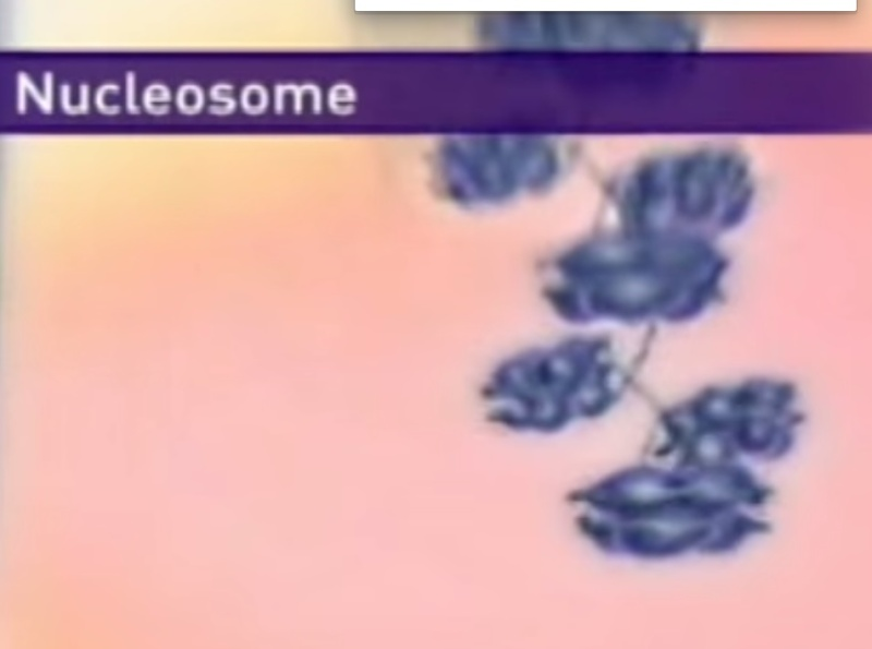 The amazing organisation and design of DNA, genomes, histones, nucleosomes chromosomes Sem_ty16