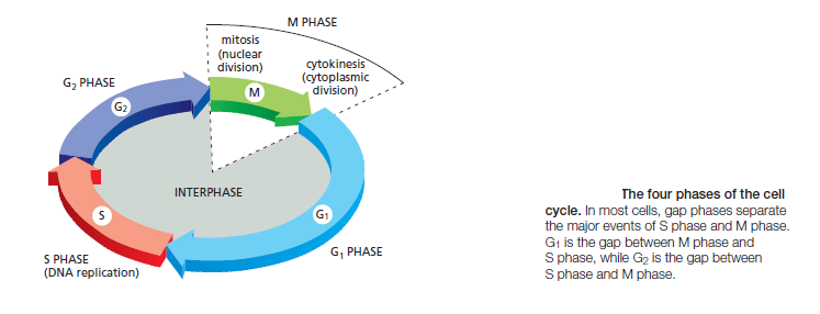 The Cell cycle Sem_ty23