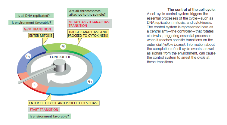 The Cell cycle Sem_ty24