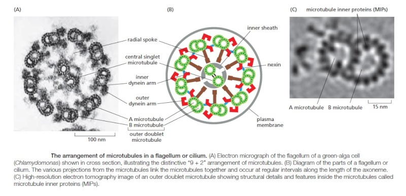 Primary Cilium a Cell's Antenna or Its Brain Sfsfsd15