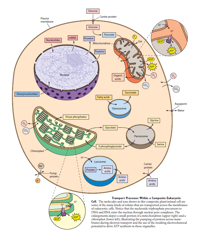 Complexity of the cell's transport and communication system Swer10