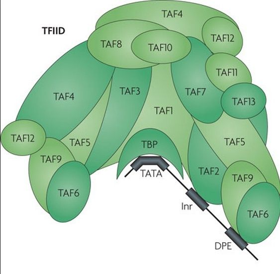 The complexity of  transcription through RNA polymerase enzymes  and general transcription factors in eukaryotes Tfiid_10
