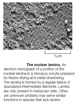 The Nuclear Lamins Trtr10