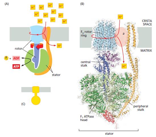 The irreducibly complex ATP Synthase nanomachine, amazing evidence of design Uioui10