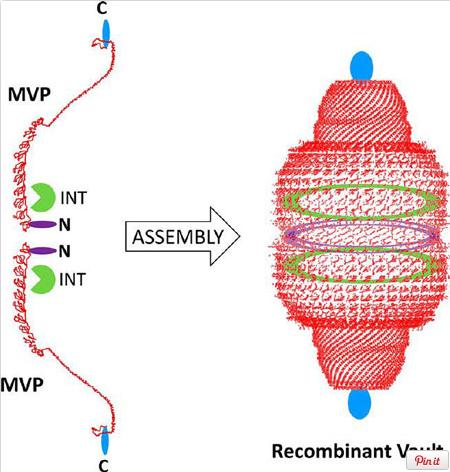 Vault particles, made by a 3d Polyribosome nano-printer Vault_10