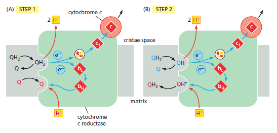 Cytochrome c reductase and oxydase Weerw10