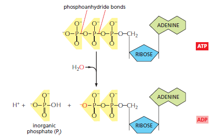 Biosynthesis and metabolism Wqeqqe10