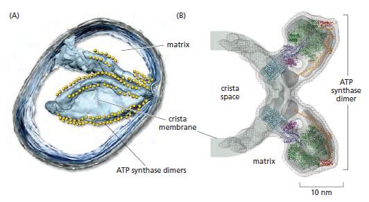 The irreducibly complex ATP Synthase nanomachine, amazing evidence of design Yuiyui12