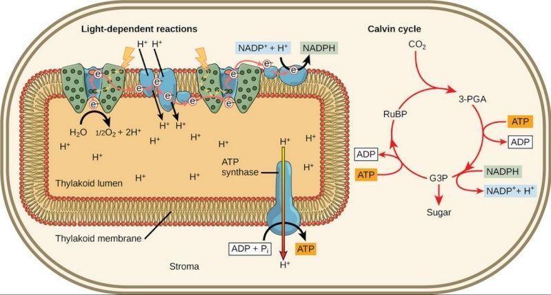 The Calvin Benson cycle Yuyiuo11