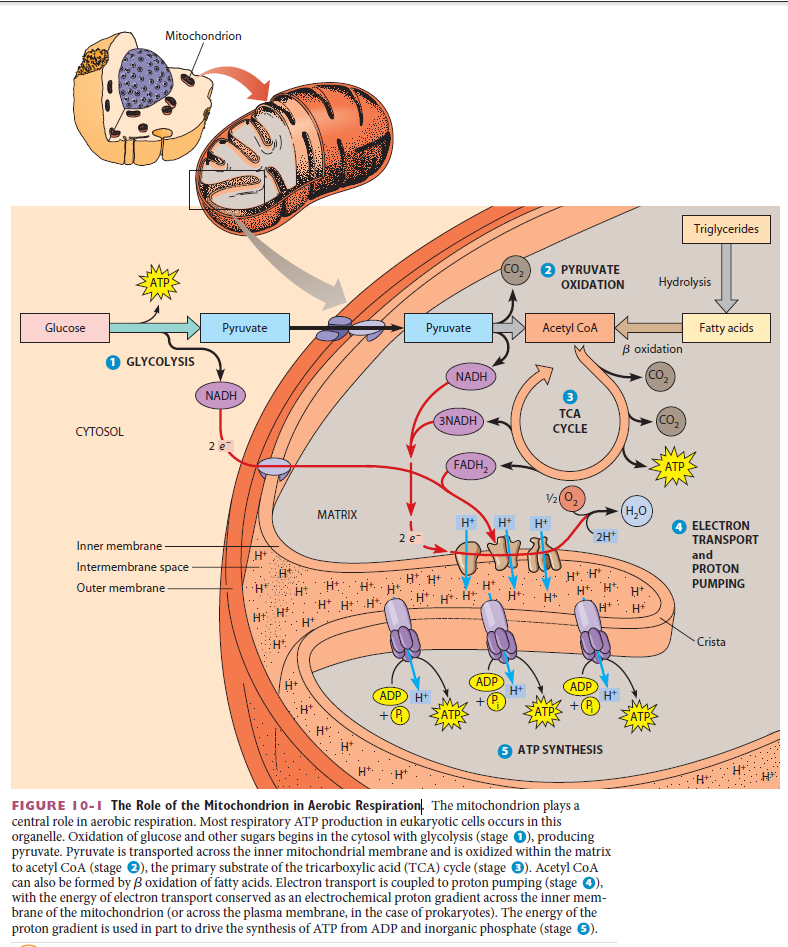 The Role of the Mitochondrion in Aerobic Respiration Zasdas10