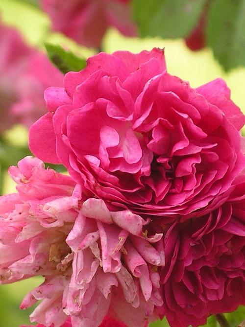 qui est ce rosier? Imgp0052