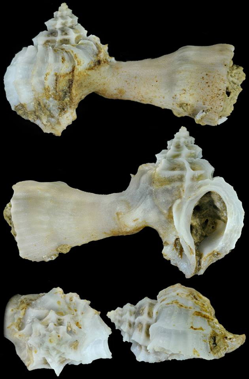 Coralliophila richardi - (P. Fischer, 1882)  11801910