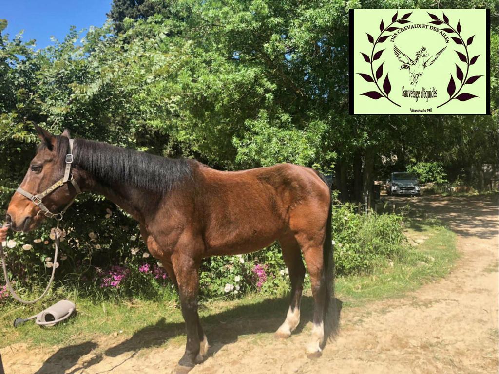 Dept 13 , JACOBIN cheval de selle né en 1997 , replacement très urgent , contact Girasol Www_ki11