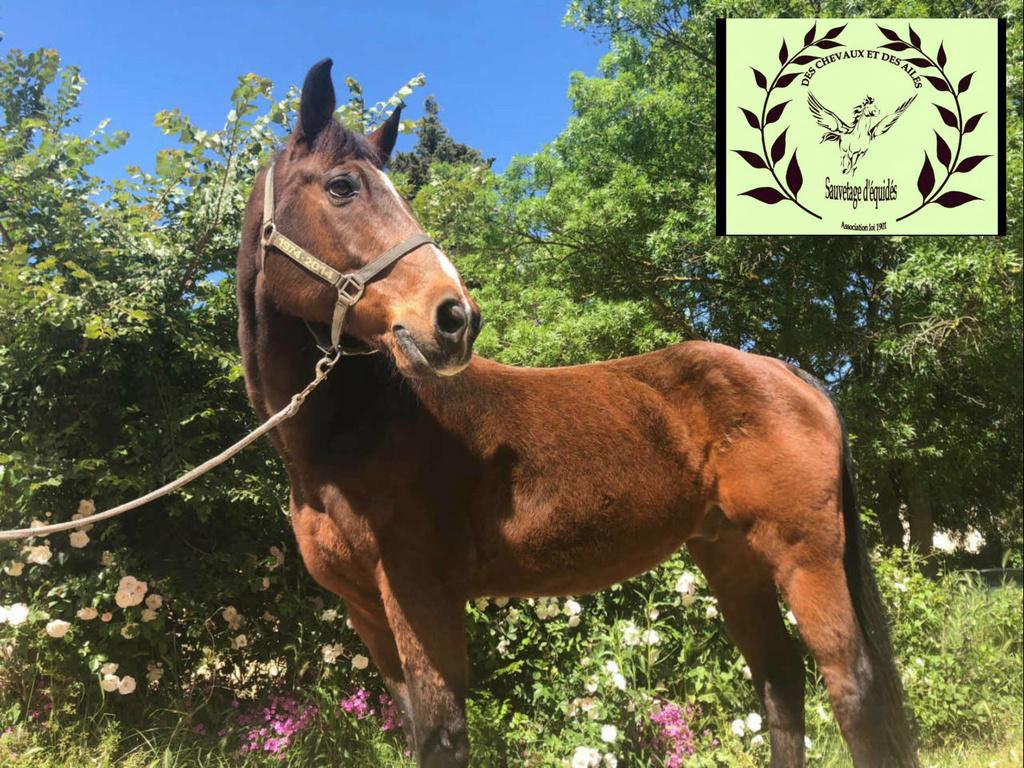Dept 13 , JACOBIN cheval de selle né en 1997 , replacement très urgent , contact Girasol Www_ki12