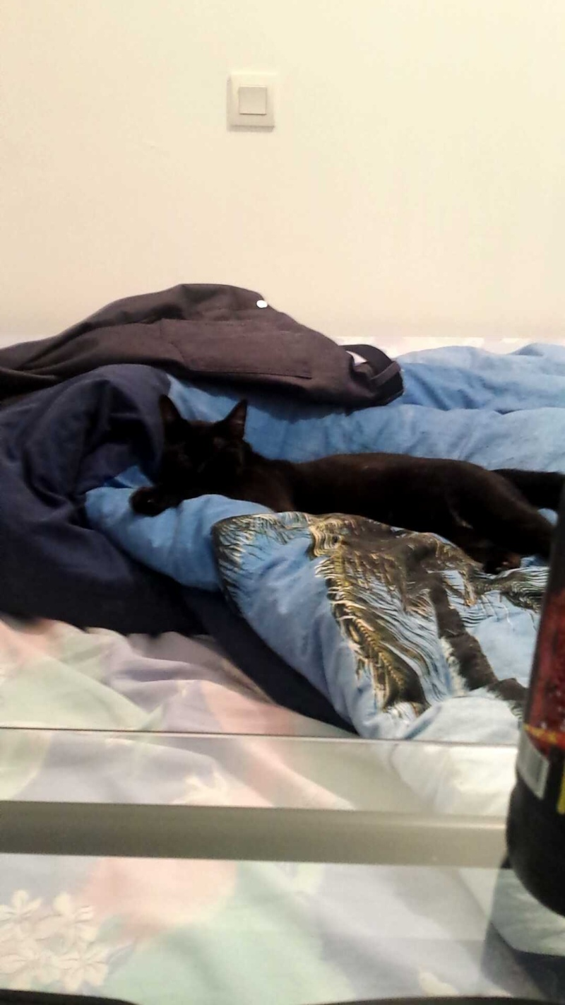 joliot - JOLIOT, chaton européen robe noire, né le 08/09/14 14359310