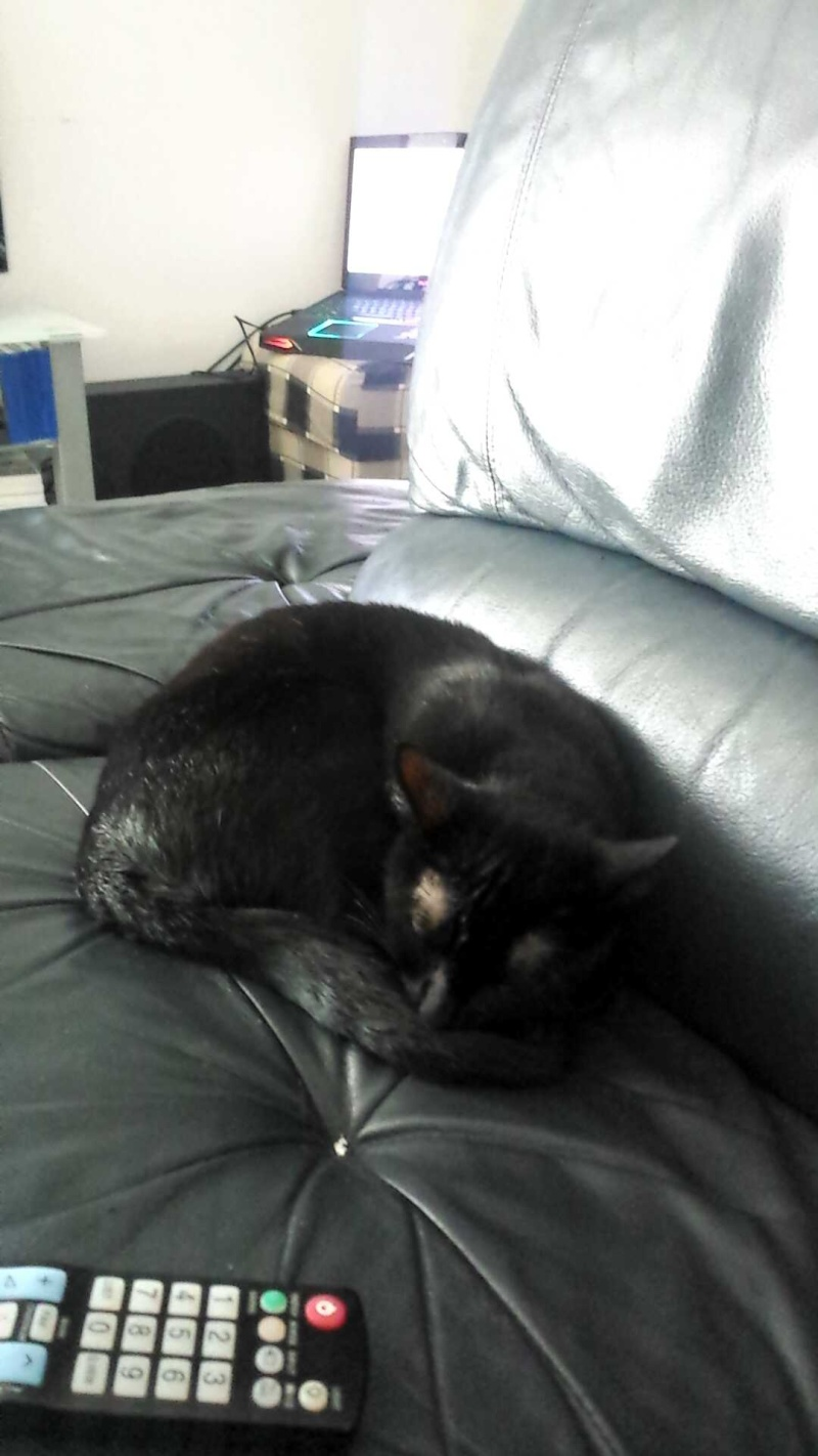 joliot - JOLIOT, chaton européen robe noire, né le 08/09/14 14361110