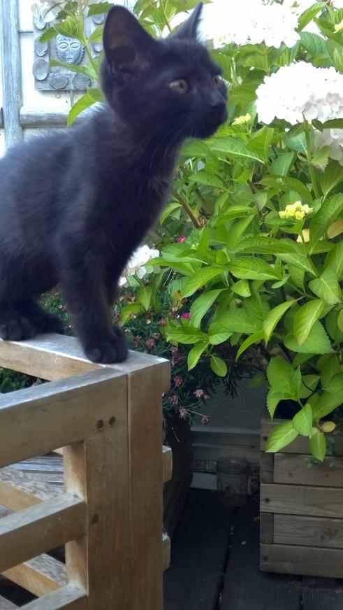 Lutine, chatonne noire de type européen, née le 20/04/2015 Fot13f10