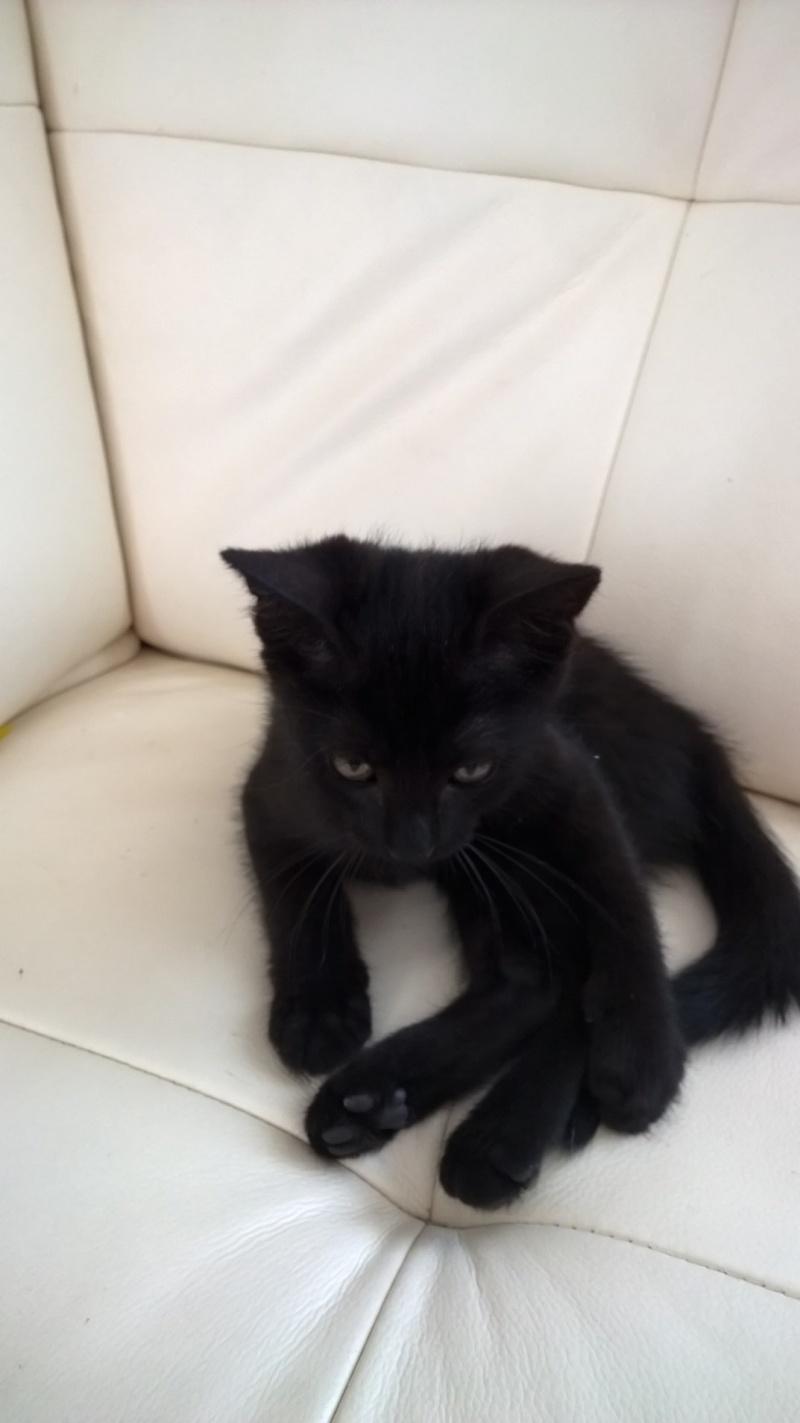 Lutine, chatonne noire de type européen, née le 20/04/2015 Fot19410
