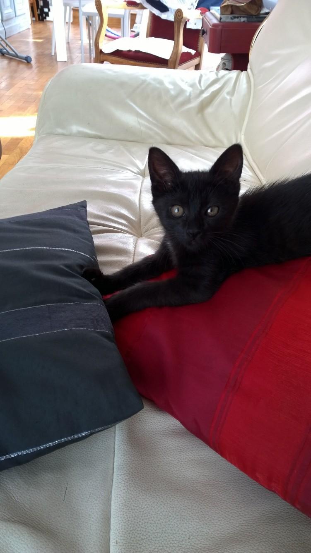 Lutine, chatonne noire de type européen, née le 20/04/2015 Fot90910