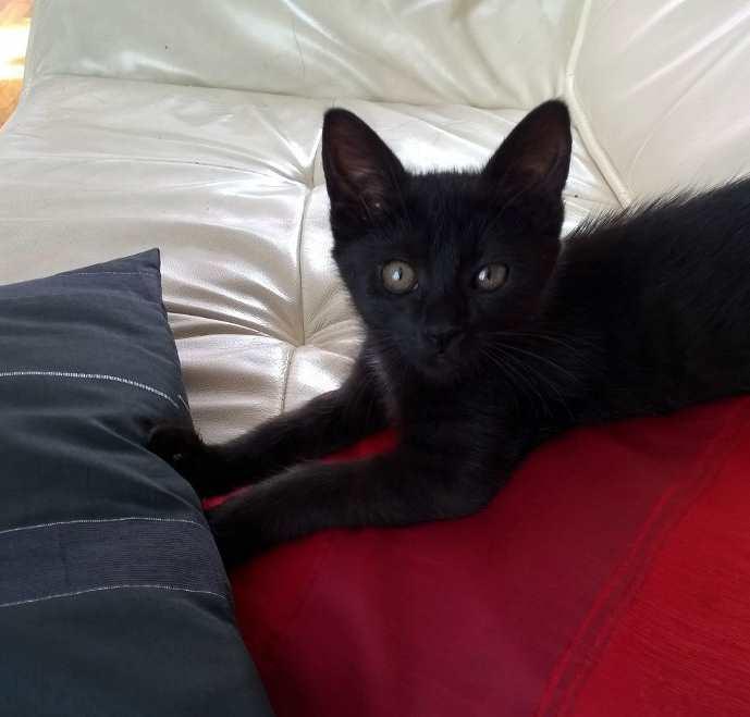 Lutine, chatonne noire de type européen, née le 20/04/2015 Fot90911