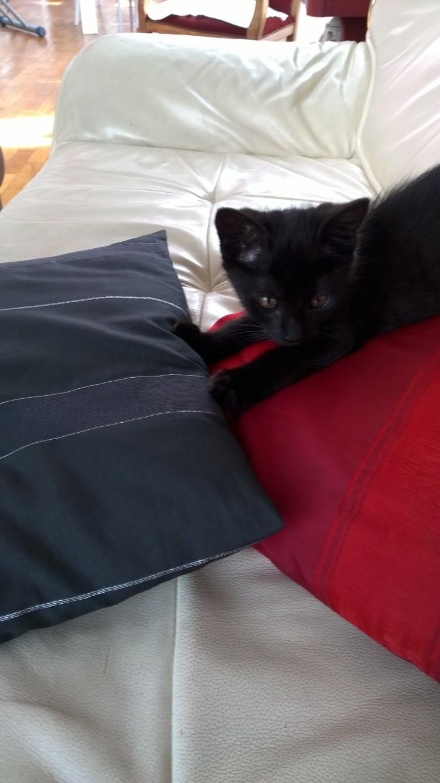 Lutine, chatonne noire de type européen, née le 20/04/2015 Fota4610