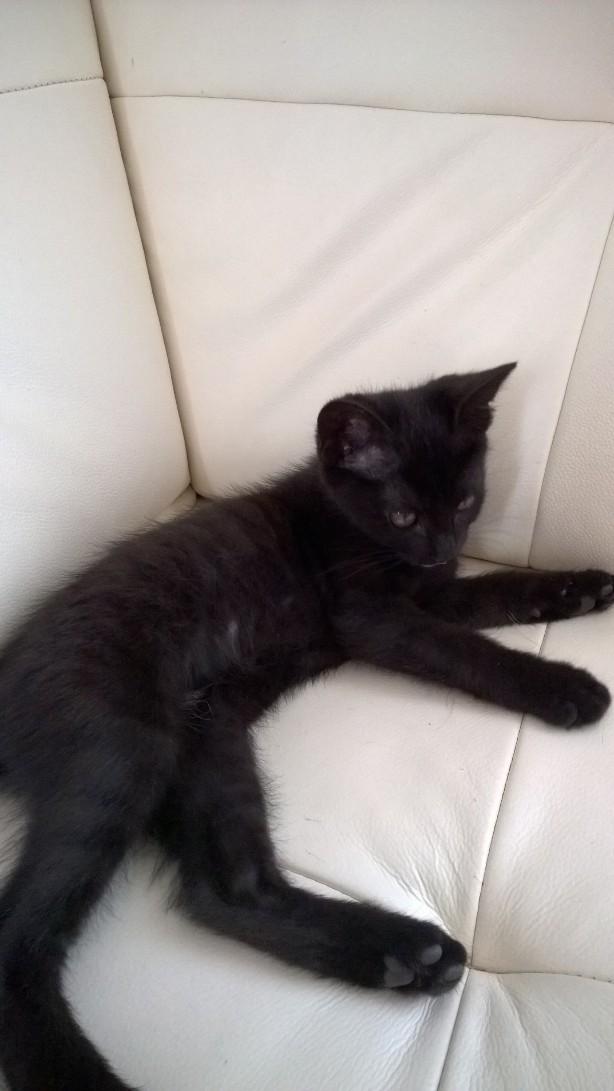 Lutine, chatonne noire de type européen, née le 20/04/2015 Fotbc010