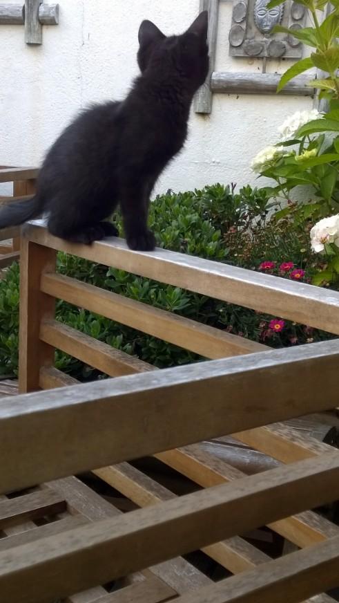 Lutine, chatonne noire de type européen, née le 20/04/2015 Fotef210