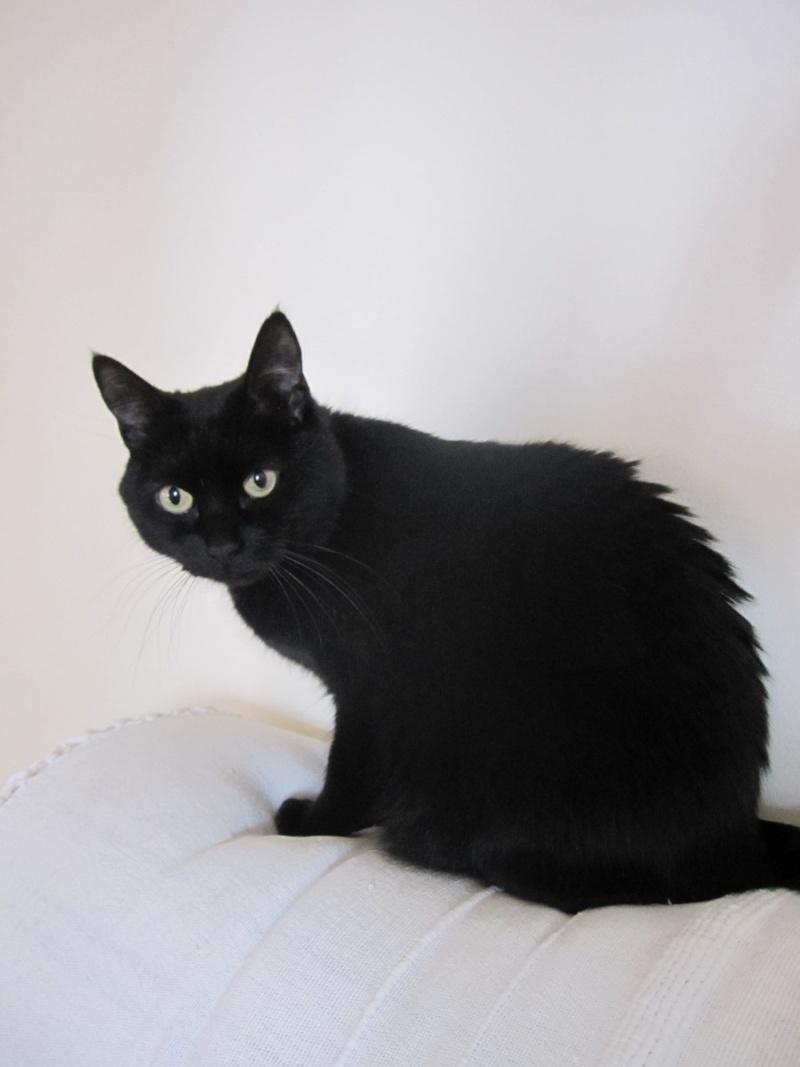 Hania, chatte européenne noire, née en septembre 2012 Img_1610