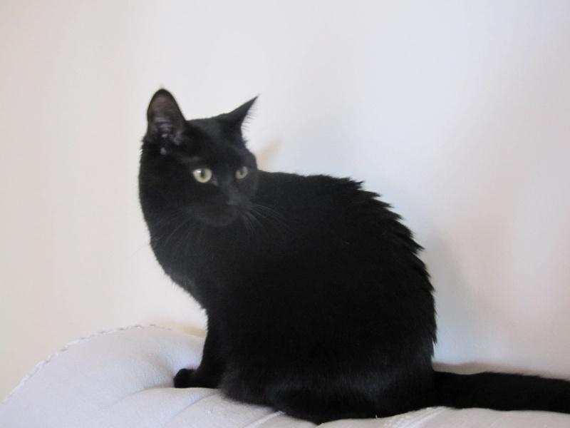 Hania, chatte européenne noire, née en septembre 2012 Img_1611