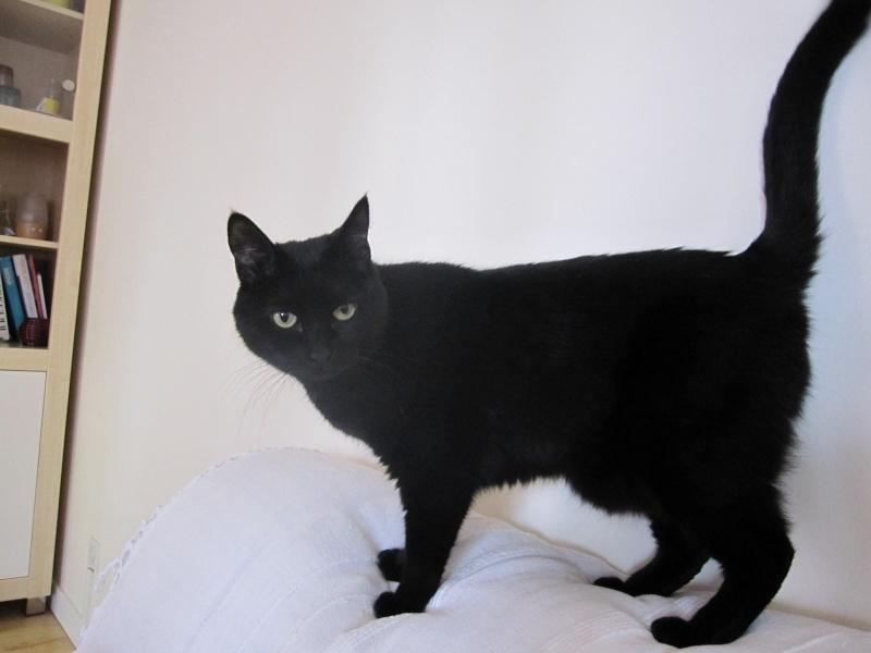 Hania, chatte européenne noire, née en septembre 2012 Img_1612