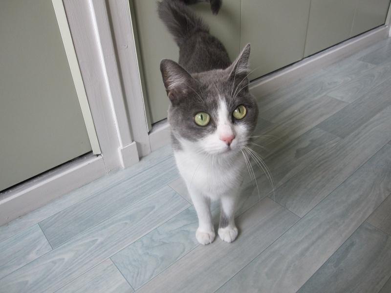 JEFFIE, chatte européenne grise & blanche, née en avril 2014 Img_1630