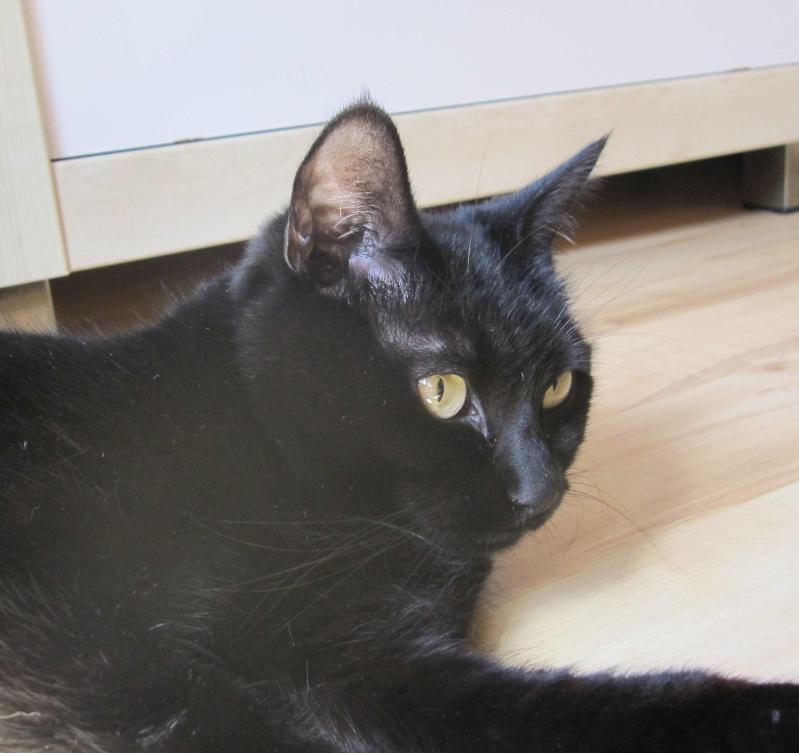 Hania, chatte européenne noire, née en septembre 2012 Img_1643