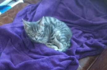 loustic - LOUSTIC, chaton Tabby gris clair et crème, né le 06/05/15 Imgf5a10