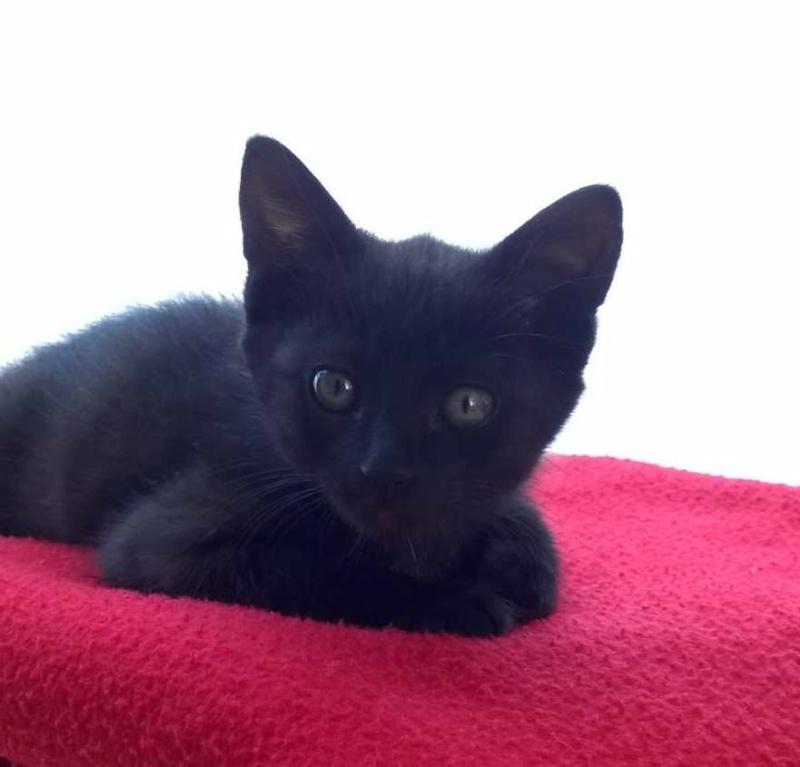 Lutine, chatonne noire de type européen, née le 20/04/2015 Wp_20110
