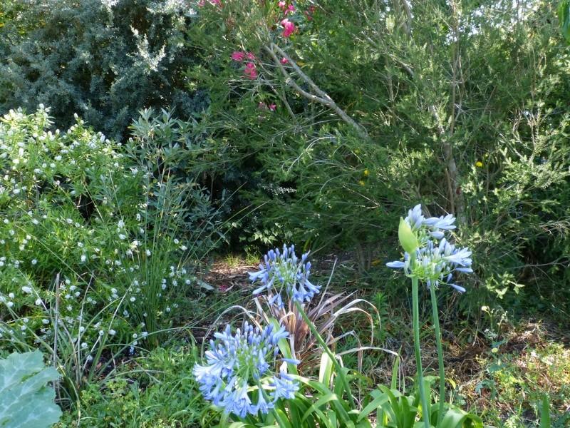 butinages du jour à l'ombre de nos plantes  - Page 2 Agapan10