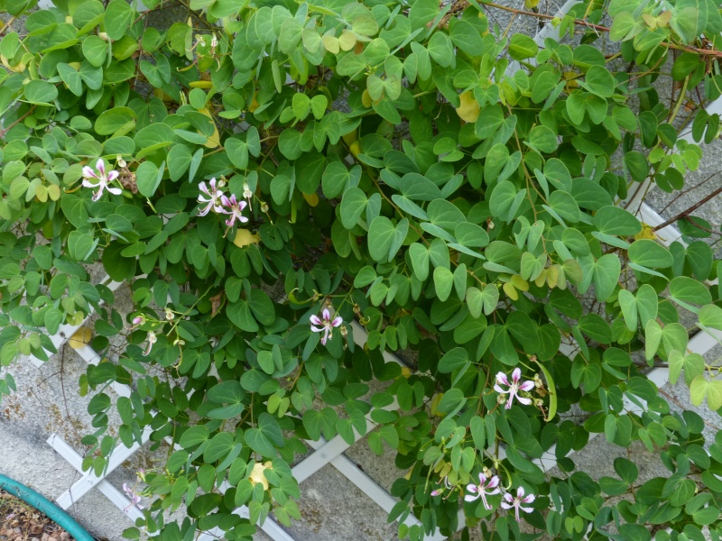 butinages du jour à l'ombre de nos plantes  Bauhin12