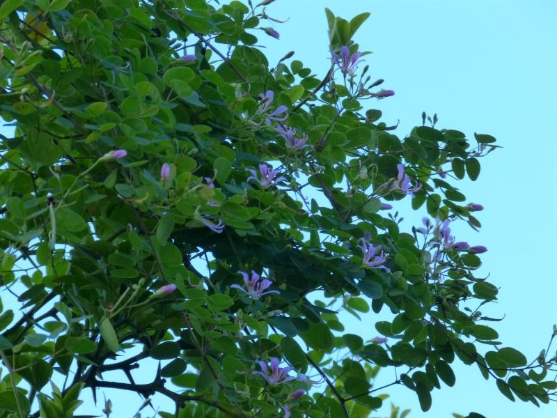 Bauhinia yunnanensis Bauhin16
