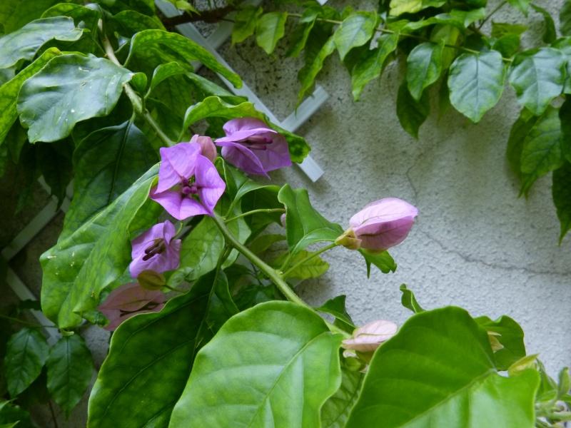 Bougainvillea x specto-glabra Bougai13