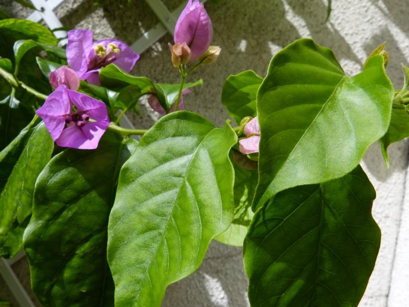 Bougainvillea x specto-glabra Bougai15