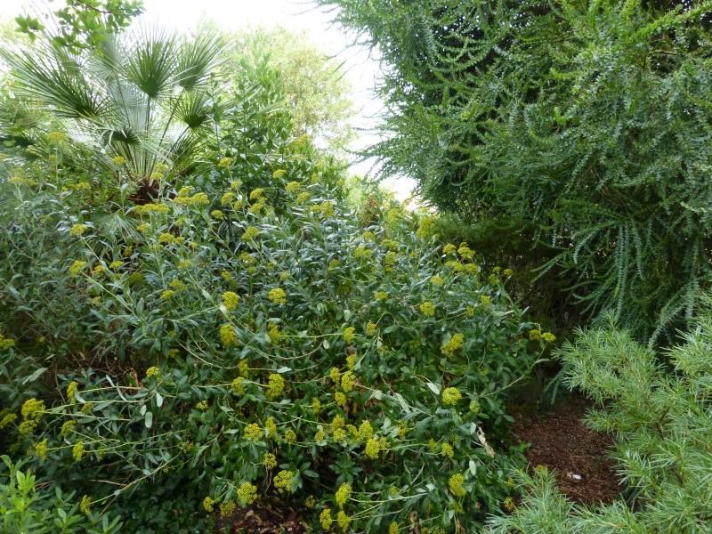 Bupleurum fruticosum - buplèvre arbustif Bupleu11