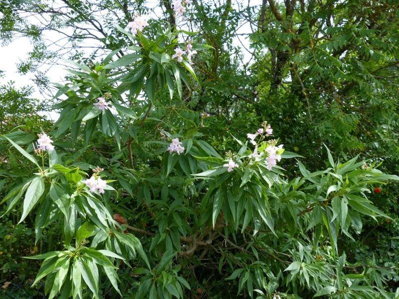 butinages du jour à l'ombre de nos plantes  Chital11
