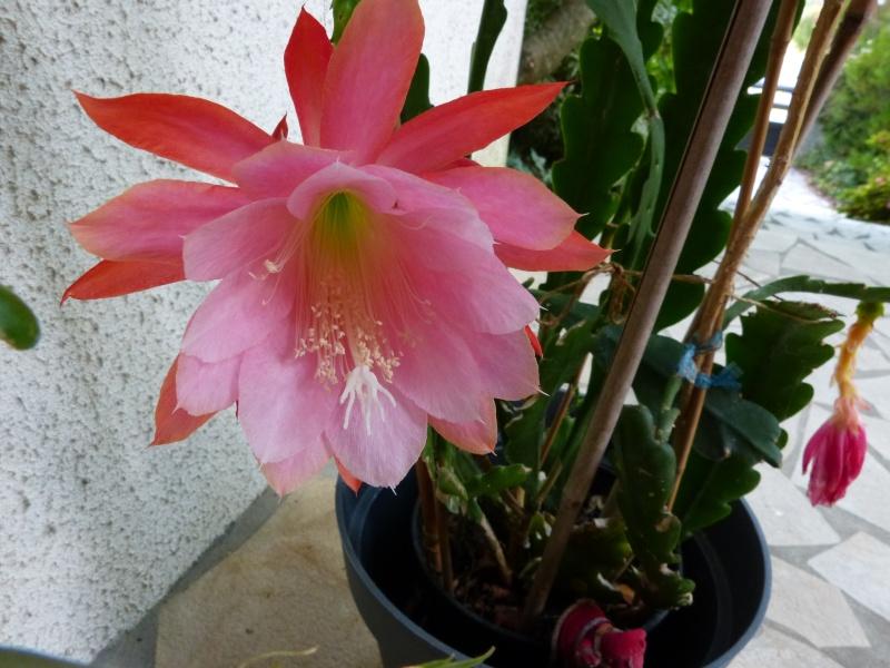 butinages du jour à l'ombre de nos plantes  - Page 4 Epiphy10