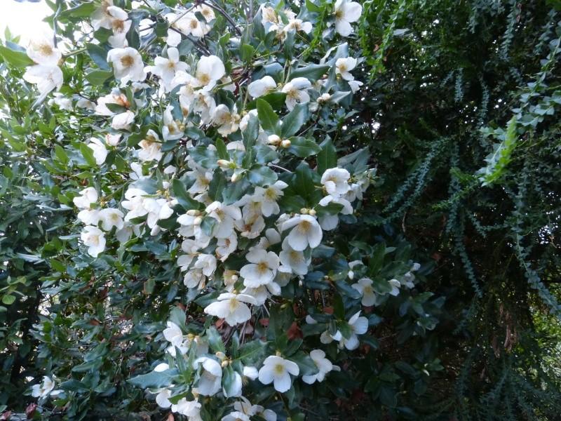 nos plantes parfumées - 2011-2015 - Page 6 Eucryp10