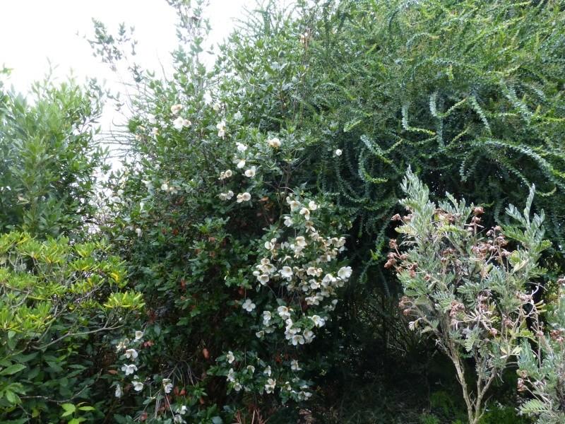nos plantes parfumées - 2011-2015 - Page 6 Eucryp11